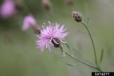 SpottedKnapweed_Rob Routledge, Sault College, Bugwood.org